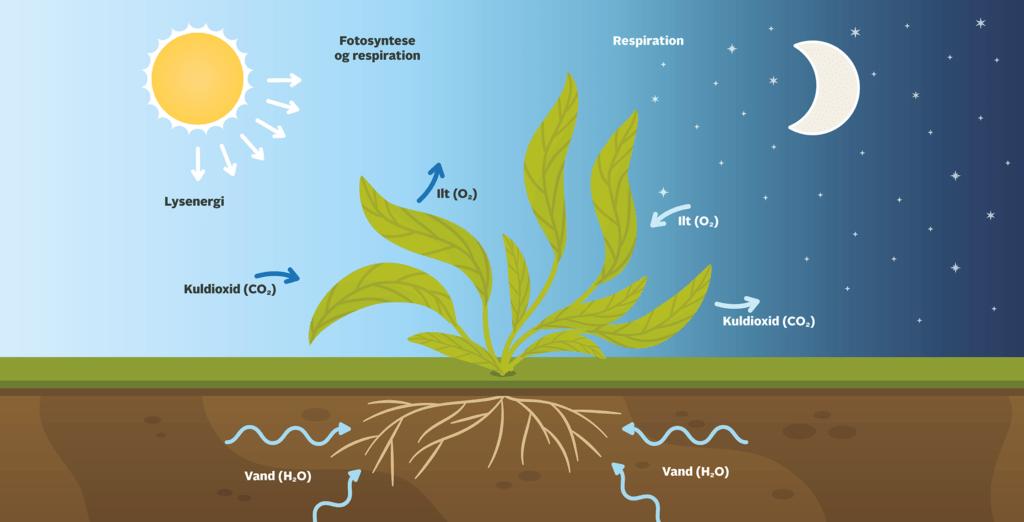 fotosyntese og respiration 1040x2040 1
