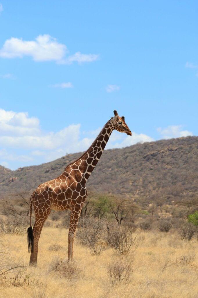 giraf01 m