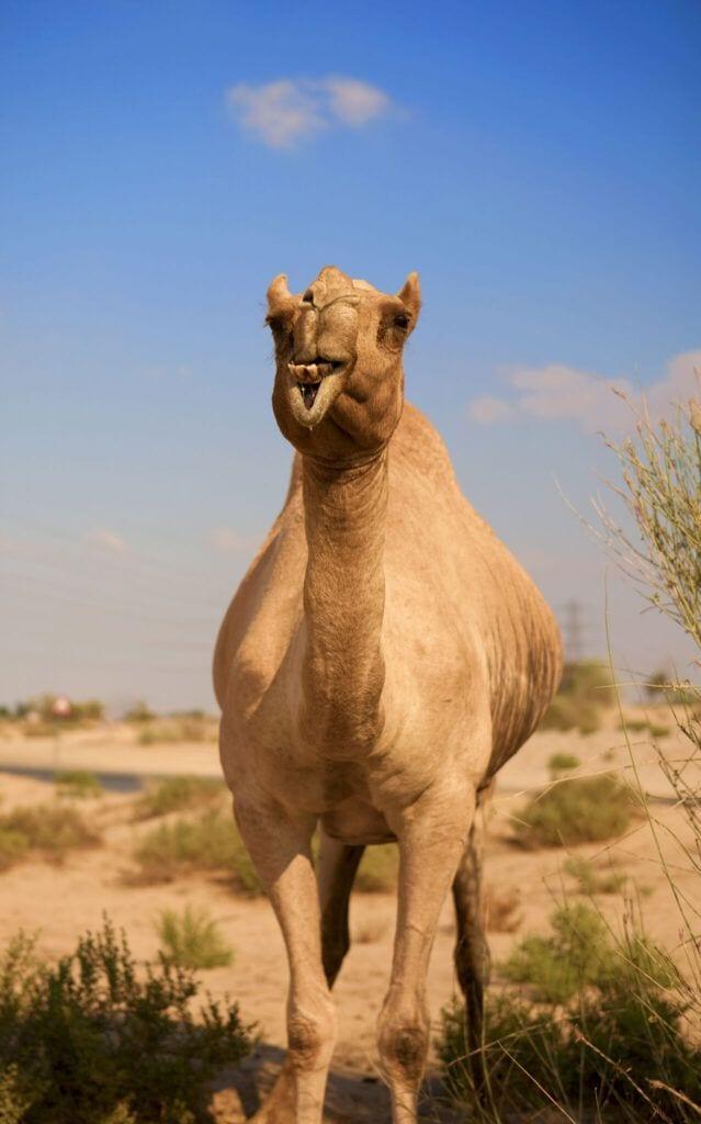 kamel01 m