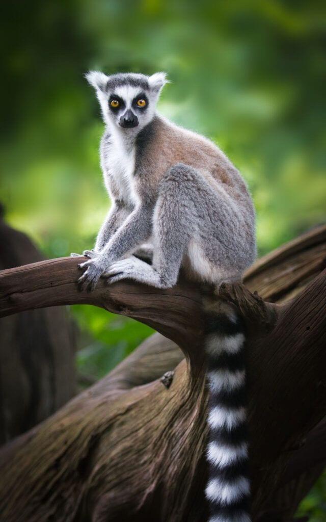 lemur01 m