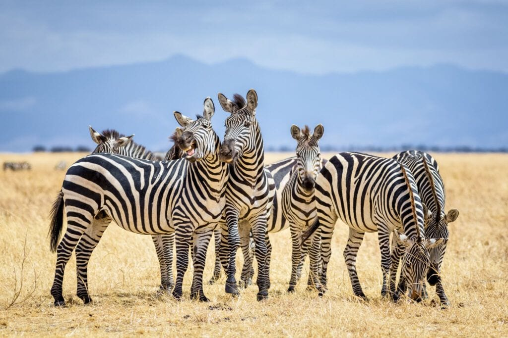zebra01 m