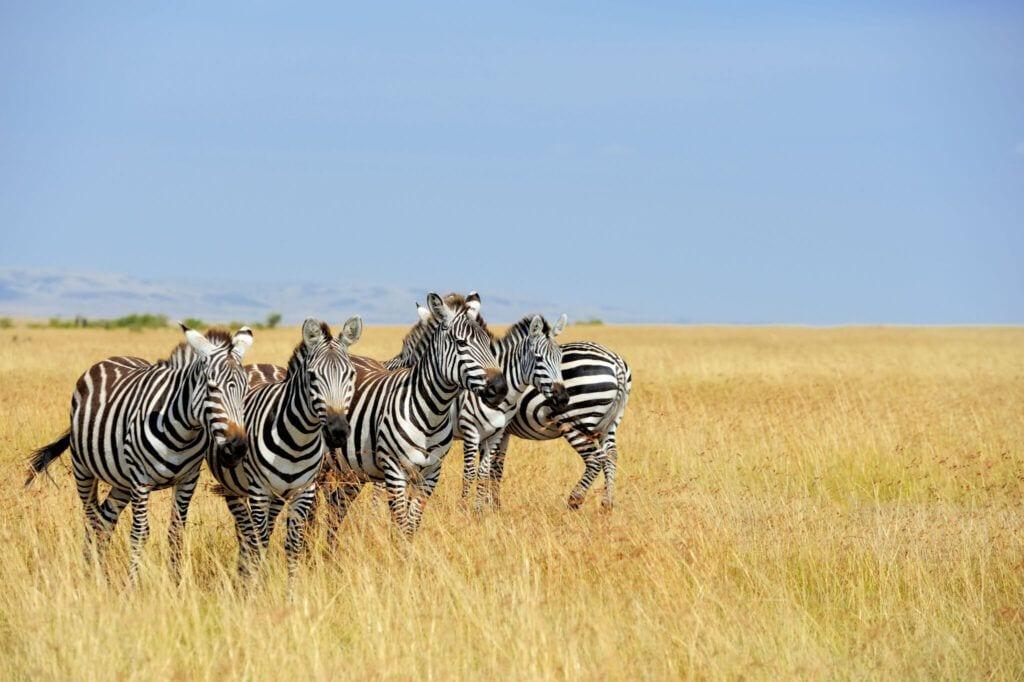 zebra02 m